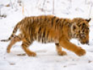 399 pixels wide tiger pictures. Software Downloads.